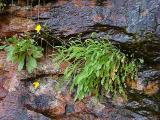 Saxifraga michauxii, Krigia montana (Dwarf Dandelion) MP 363.4 N