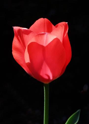 09566 tulip