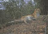 leopard-201.jpg