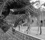Giraffe Duo