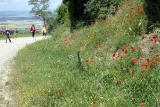 Poppies grow everywhere Cortona