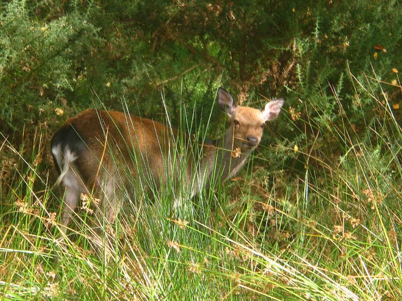 Sika Deer.