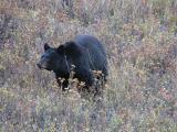 Black bear near Elk Creek