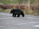 Bear crossing parking lot