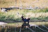 Elk with broken leg