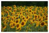 sun flower field.JPG