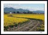 Through the daffodils