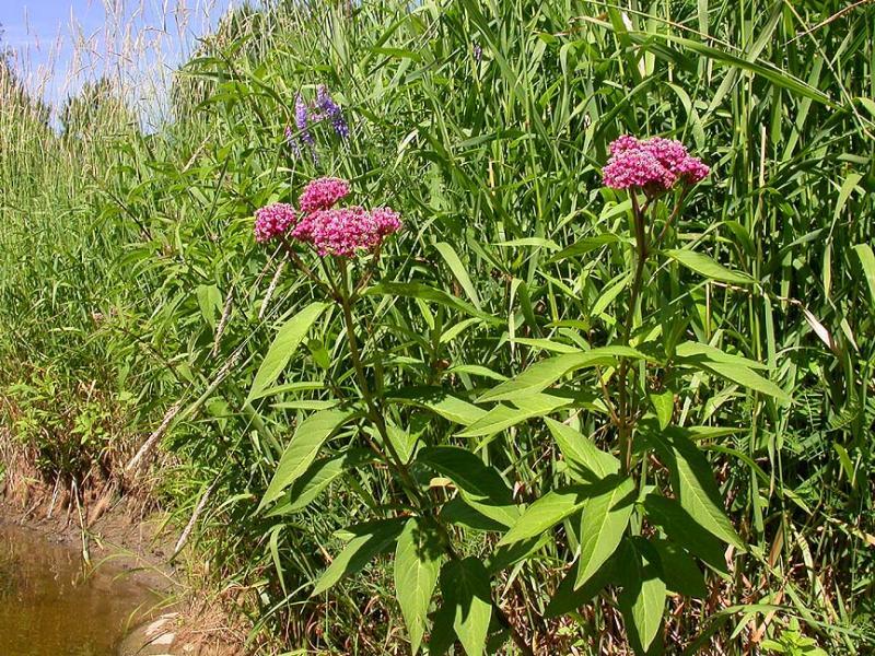 Swamp Milkweed -- <i>Asclepias incarnata</i> on north shore