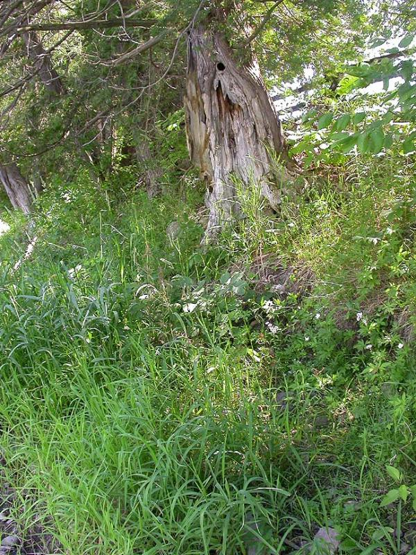 southeast shore -- shaded by cedars - 2