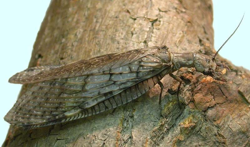 Eastern Dobsonfly -- female