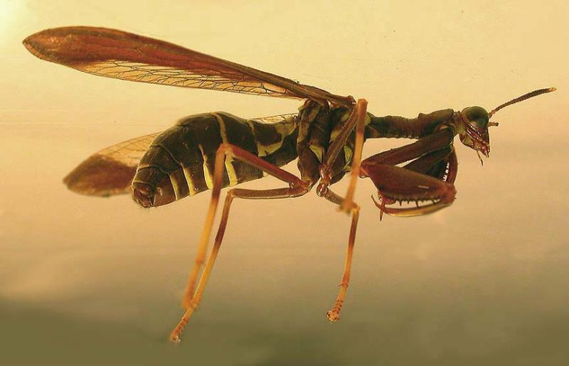 Climaciella brunnea - Brown Mantidfly -- small