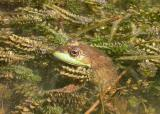 Green  frog in Elodea canadensis