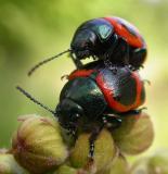 Swamp Milkweed Leaf Beetles -- mating