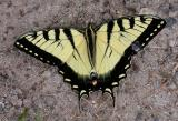 Tiger Swallowtail -- view 1 - Murphy's Point Prov. Park