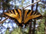 Tiger Swallowtail -- view 1 -- Baird Woods in Lanark County