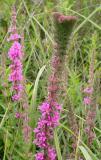 Purple loosestrife -- flower head mutation - view 2