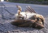 dead ruffed grouse