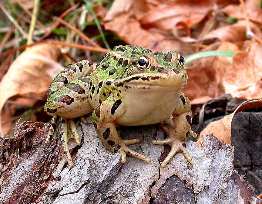 Leopard Frog -- <i>Rana pipiens</i>