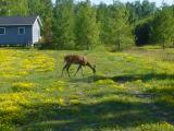 deer on Madeline Island