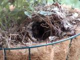 Bird nest in my hanging planter