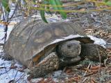 Gopher Tortoise1