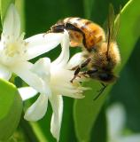 Bee on Kumquat Blossom