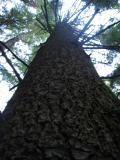 Ron's White Pine