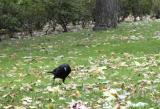 A Crow flies in  from Van Gogh's cornfield