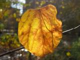Cercis or Judas Tree Leaf