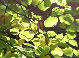 Cercis Foliage & Seed Pods