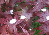 Red Leaf Maple with Crab Apple Blossom Petals