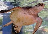 Lil Turtle