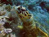 Hawksbill turtle eating soft corls - 01