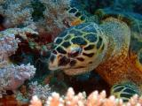 Hawksbill turtle eating soft corls - 02