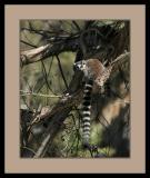 Lemur #1