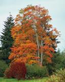Big-Leaf Maple
