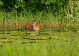 doe. dinner in the pond