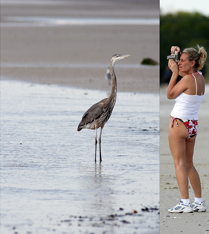 great blue heron. making a photo to show the folks back home