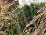 040709 Feather Grass