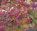 Maple Leaves1.jpg