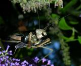 Chinese Mantid with Carpenter Bee Prey