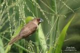 Scaly-Breasted Munia   Scientific name: Lonchura punctulata  Habitat: Ricefileds, grasslands, gardens and shrubs.
