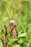 Zitting Cisticola   Scientific name - Cisticola juncidis   Habitat - Common in ricefields and wetter grassy areas.
