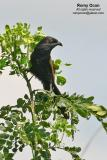 Lesser Coucal   Scientific name - Centropus bengalensis   Habitat - Common in grassland and open country, often perched at top of grass.