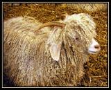 Angora Goat.0960