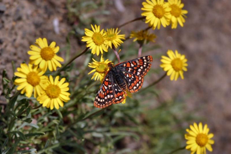 ediths checkerspot on yellow flowers