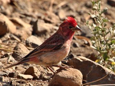 cassins finch with topknot