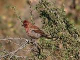 cassin's finch in brush
