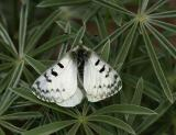 clodius parnassian butterfly with red spots covered