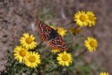 edith's checkerspot on yellow flowers